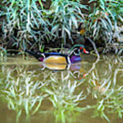 Wood Duck Reflection Poster