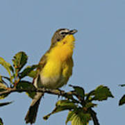 Yellow-breasted Chat Sings Poster
