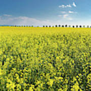 Yellow Canola Field And Blue Sky Spring Landscape Poster