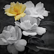 Yellow Rose Cluster Partial Color Poster