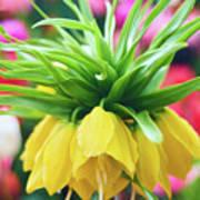 Yellow Tulip Close Up Poster