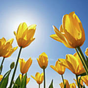 Yellow Tulips Against A Blue Sky At Poster