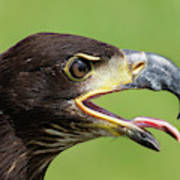 Young Bald Eagle 2 Poster