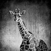 Young Giraffe Black And White Poster