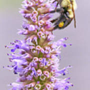 Bumblebee on Blue Giant Hyssop Poster