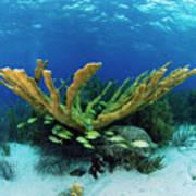 Elkhorn Coral Poster