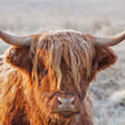 Frosty Highland Cow Poster