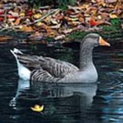 Great White-fronted Goose Poster