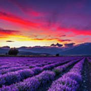 Lavender Season Poster