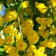 Yellow Wisteria Buds Photograph By Elizabeth Thomas