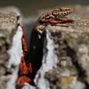 A Lizard Emerging From Its Hole Art Print