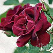 Beautiful Red Roses Art Print