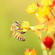 Bee On Milkweed Art Print
