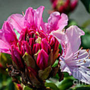 Coast Rhododendron Art Print
