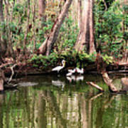 Cypress Swamp  Art Print