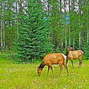 Elk Near Wapiti Campground In Jasper Np-alberta Art Print