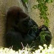 Gorilla Snacking Art Print