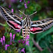 Hummingbird Moth Print Art Print