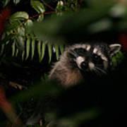 I Can See You  Mr. Raccoon Art Print