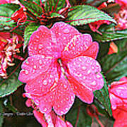 Impatiens Art Print by Debbie Sikes