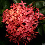 Ixora Night  Art Print