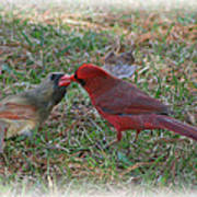 Kissing Cardinals Art Print