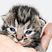 Kitten In A Hand Print by Susan Leggett