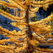 Larch Tree Closeup Art Print