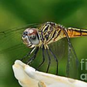Austrogomphus Dragonfly Art Print
