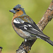 Male Chaffinch Art Print