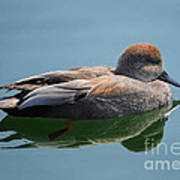 Male Gadwall Duck  Art Print