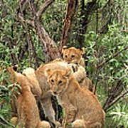 Masai Mara Lion Cubs Art Print