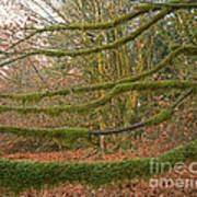 Moss-covered Big Leaf Maple Branches Art Print