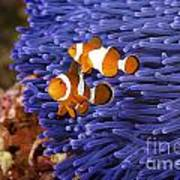 Ocellaris Clownfish Art Print