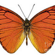 Orange Butterfly Species Appias Nero Neronis  Art Print