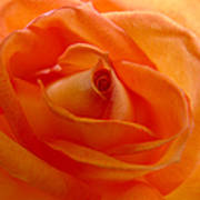 Orange Swirls Rose Flower Art Print