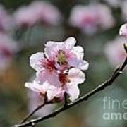 Peach Blossoms I Art Print