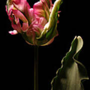 Pink and Green Parrot Tulip Art Print