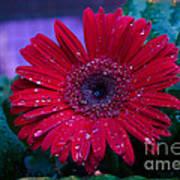 Red Gerbera Daisy Art Print