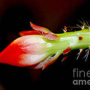 Red Orchid Cacti Bloom Art Print