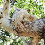 Sycamore Tree's Twisted Trunk Art Print