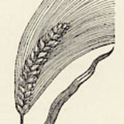 Triticum Lucidum  Bright Wheat Art Print