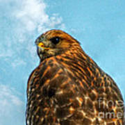 What Are You Looking At Red Shoulder Hawk Art Print