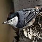 White-breasted Nuthatch Pictures 35 Art Print