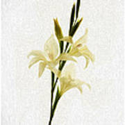 White Gladiolus Mixed Media Painting Art Print
