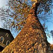 001 Oldest Tree Believed To Be Here In The Q.c. Series Art Print
