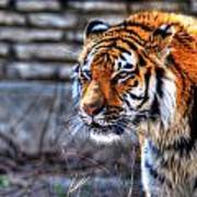 0010 Siberian Tiger Art Print