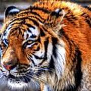 0011 Siberian Tiger Art Print