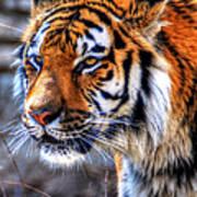 0013 Siberian Tiger Art Print