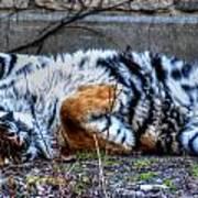009 Siberian Tiger Wubb Me Bellwee Poweesh Art Print